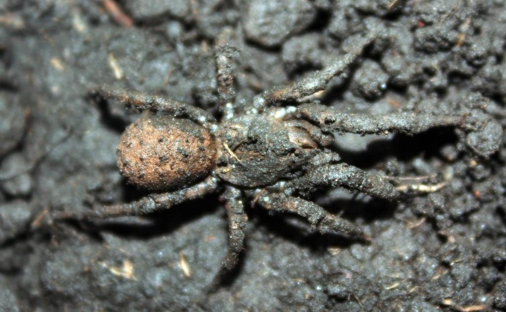 Las Paratropis tuxtlensis son arañas pequeñas, que no miden más de cuatro centímetros de la punta de una pata al extremo opuesto.