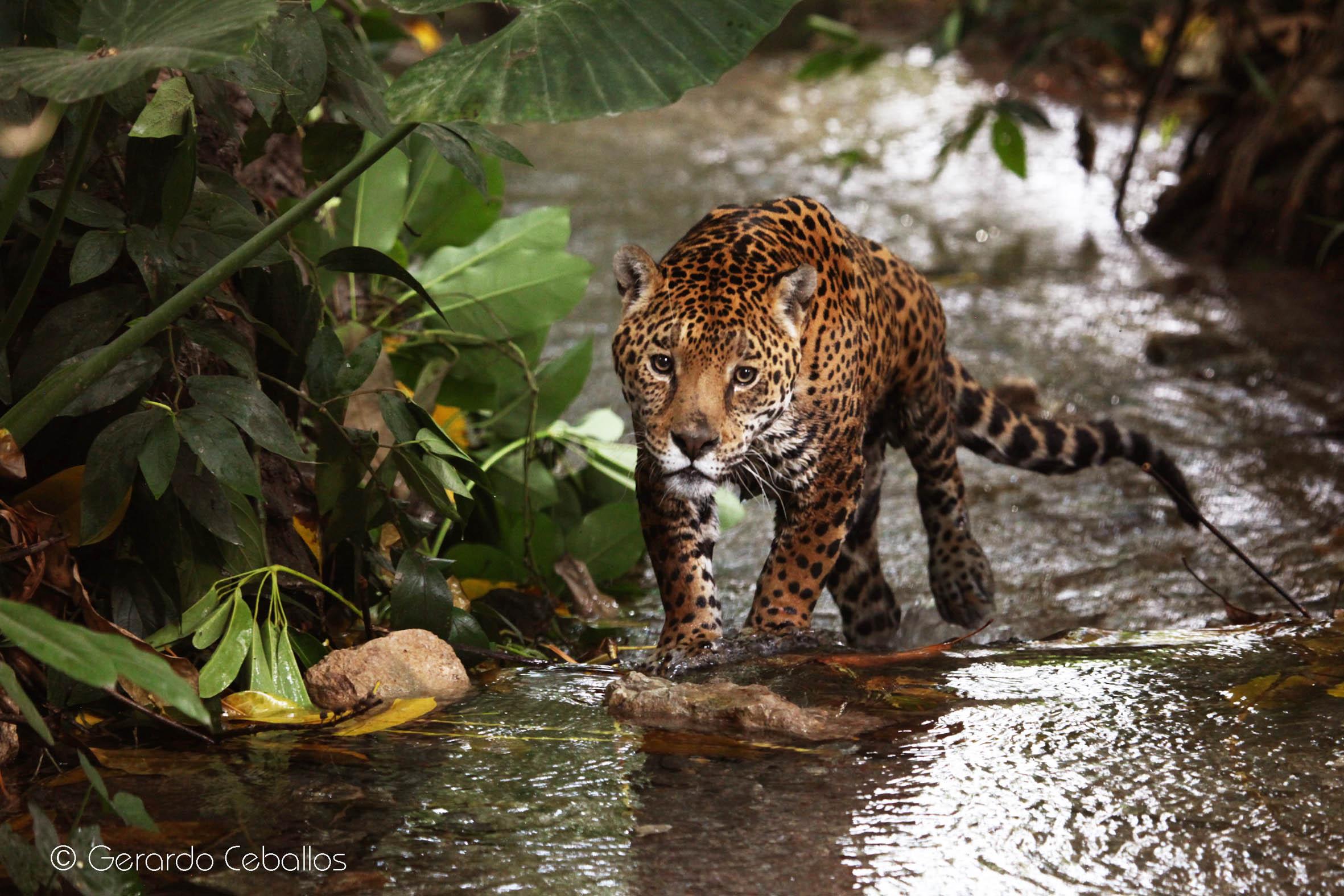 Resultado de imagen de jaguar en el fuego